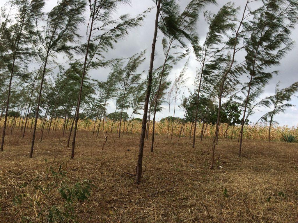 Casuarina trees on farm
