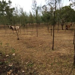 Cows grazing among st casuarina trees on farm