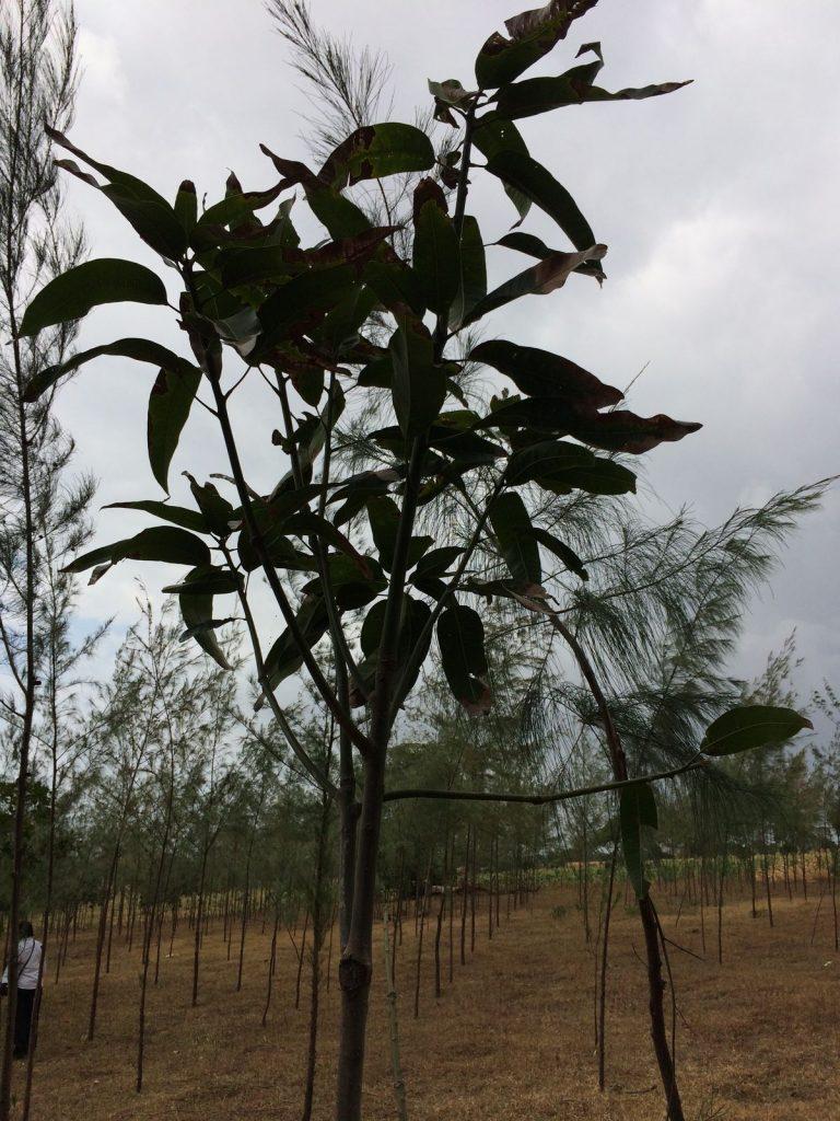 Mango tree on a farm