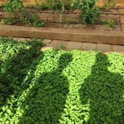 Herb garden in greenhouse