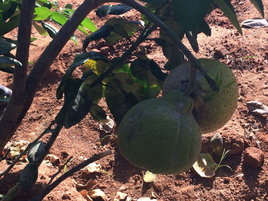 Sweet Melon Tree