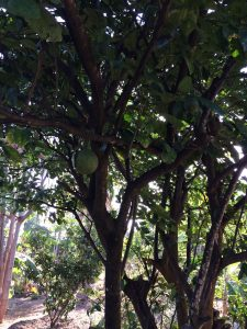 Apple Mango tree