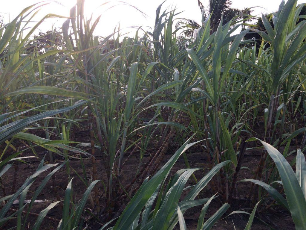 Sugar cane farm Gongoni