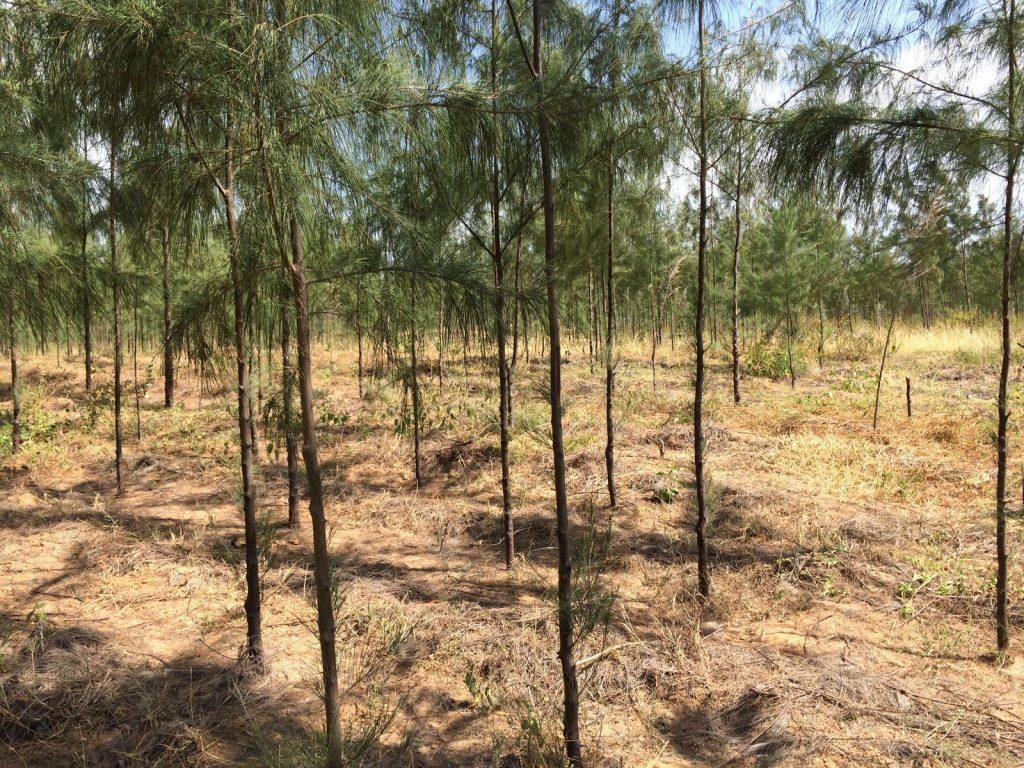 Casuarina tree plantation in Marereni