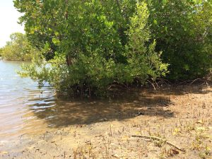 More Mangrove Trees by Robinson Island water's edge
