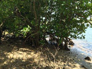 Mangrove vegetation water side