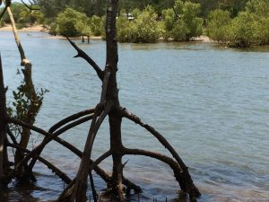 Skinny Mangrove trees with cool roots in water close up