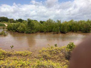 Mangrove trees at Robinson Island