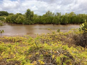 Mangrove belt at Robinson Island restoration