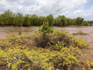 Mangrove belt